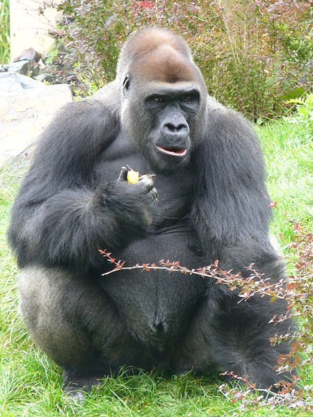 Image result for male gorilla eating plants