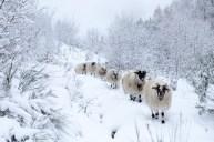 L'agneau des Bruyères 3