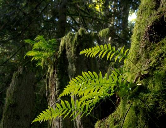 Ferns on stump