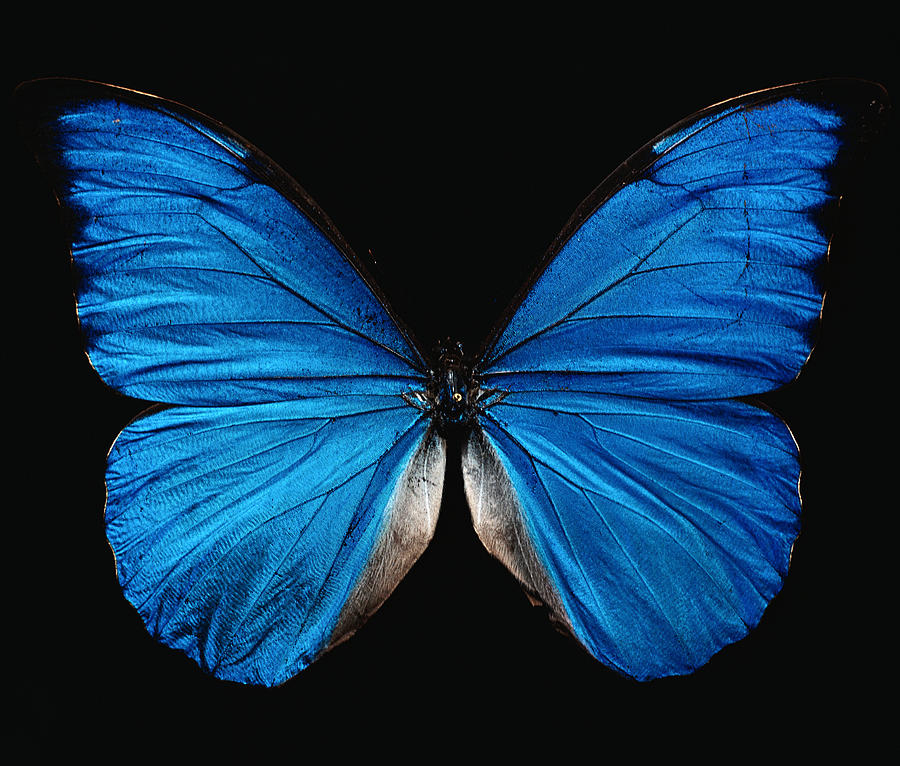 Picture of a blue butterfy flapping it's wings