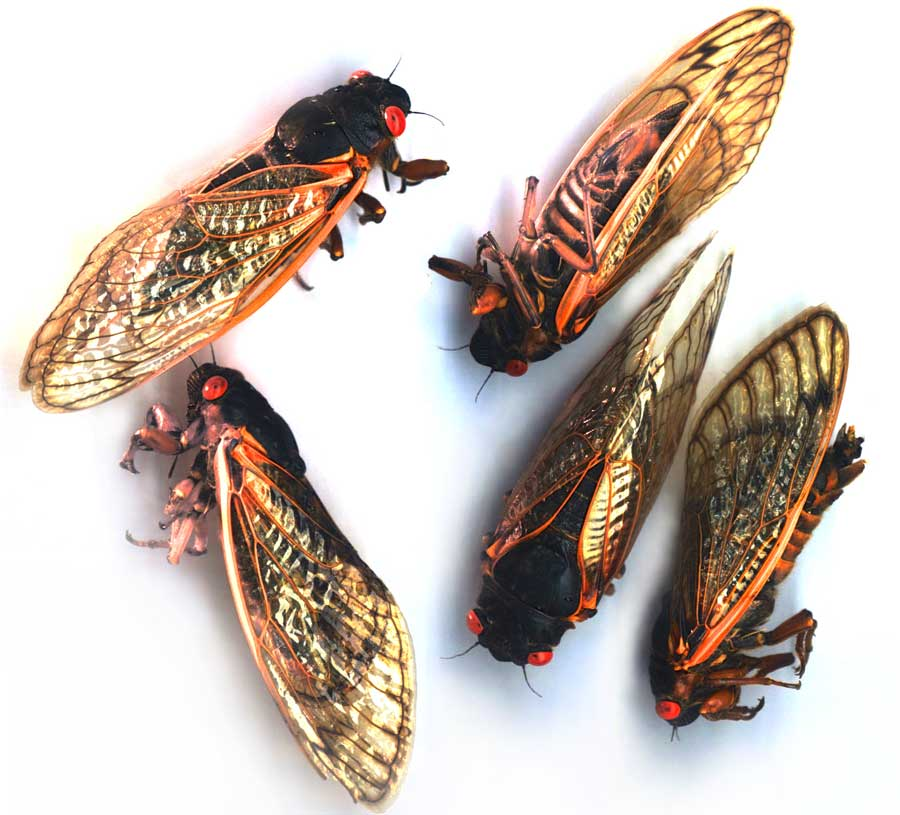cicadas-scanned