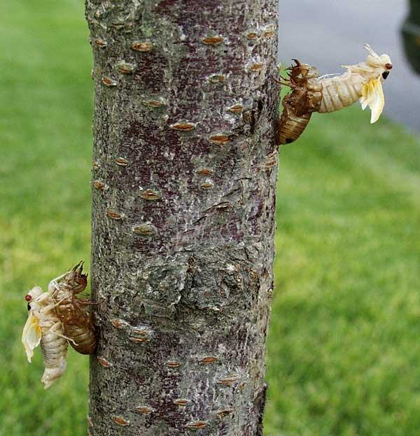 Cicadas 2004