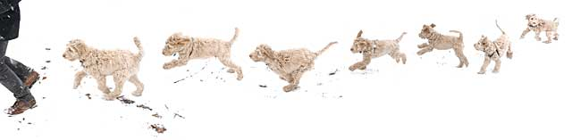 puppy leaping, bounding and racing through snow