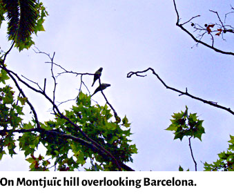 parrots on Monjuic hill, Barcelona