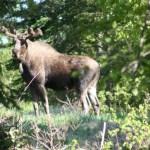 Rufus, the camp moose