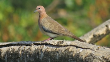 Getting Started 6: Learning Bird Sounds – Bird Count India