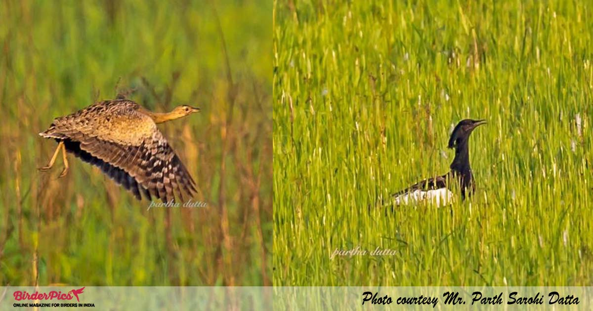 bengal-florican-male-female