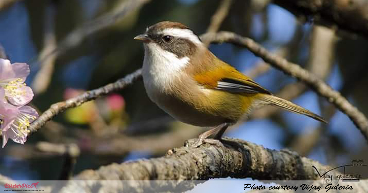 White-browed-fulvetta