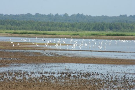 Great Egrets and others