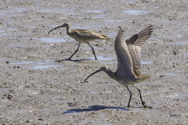 2011-09-05 Far Eastern Curlew