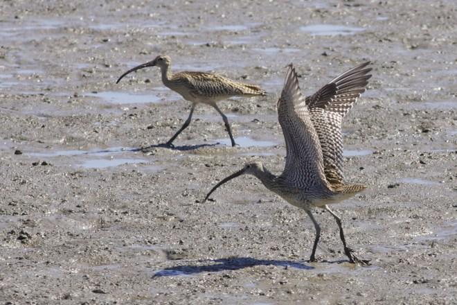 2011-09-05 Far Eastern Curlew