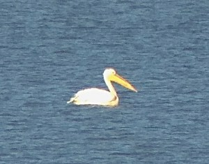 Pelican, Miyun Reservoir,  5 October 2014.  Taken on 70x magnification with an iPhone and the Swarovski ATX 95 telescope