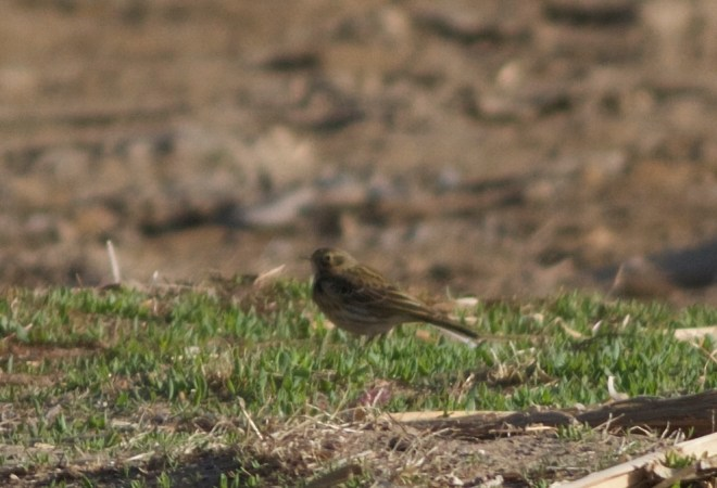 2016-04-09 Meadow Pipit, Ma Chang2