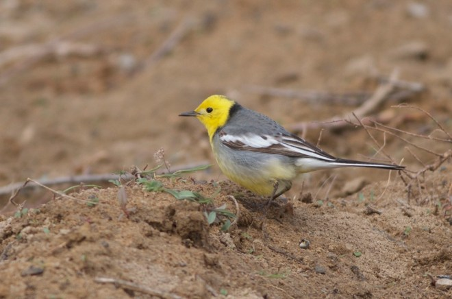 2016-04-16 Citrine Wagtail male, Ma Chang5