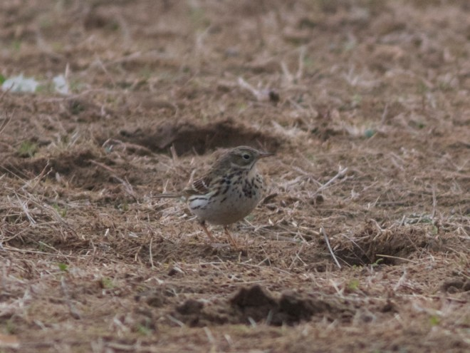 2016-04-16 Meadow Pipit, Ma Chang3