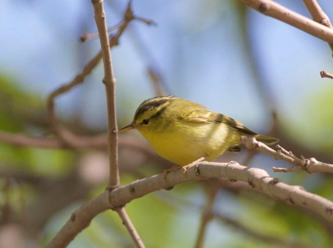 2016-04-28 Sulphur-breasted Leaf Warbler, Nanpu2