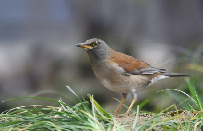 2016-11-18-pale-thrush-temple-of-heaven-by-zhang-weimin