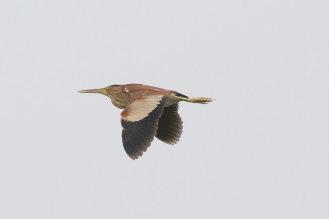 2012-07-13 Yellow Bittern in flight2