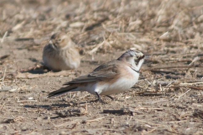 Horned Lark ssp brandti.  Note the lack of yellow on the face.
