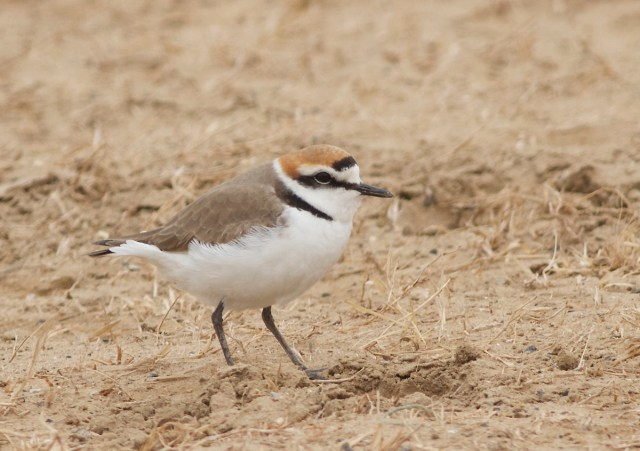 Kentish Plover, Ma Chang