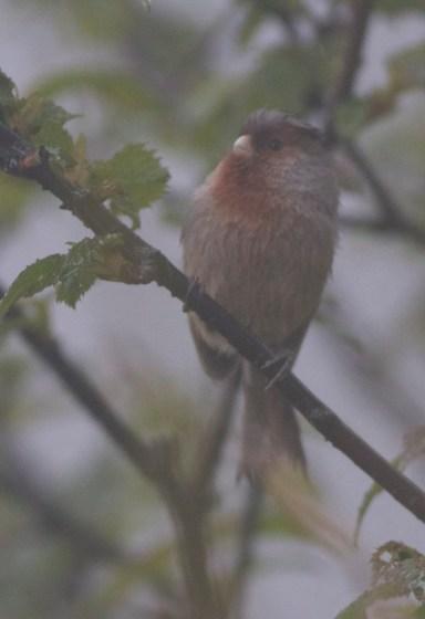 Przewalski's (Rusty-throated) Parrotbill, Tangjiahe, Sichuan Province, 5 May 2013