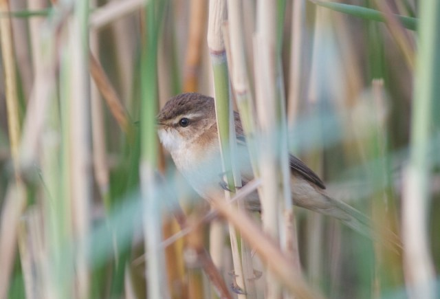 Manchurian Reed Warbler, Huairou Reservoir, Beijing, 1 June 2013.  A typical view of this reed-dwelling species!