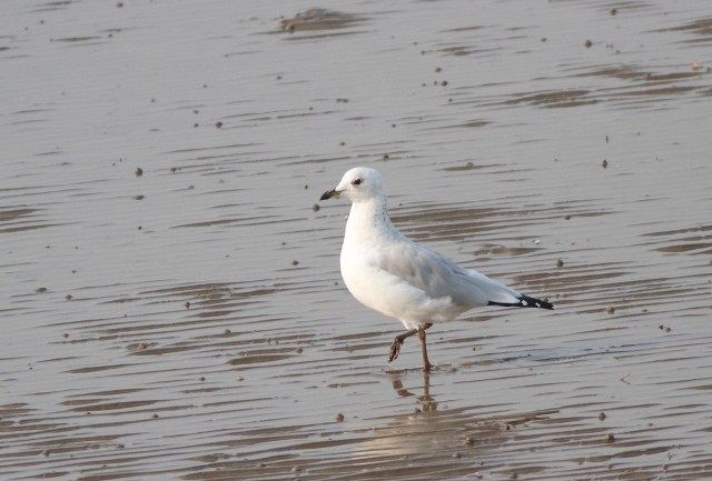 2cy RELICT GULL, Nanpu, Hebei Province, August 2013