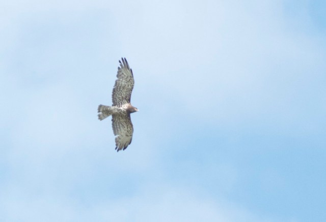 One of two Short-toed Eagles seen at Miyun on 1 September.  This species is a regular passage migrant in Spring and Autumn in Beijing.