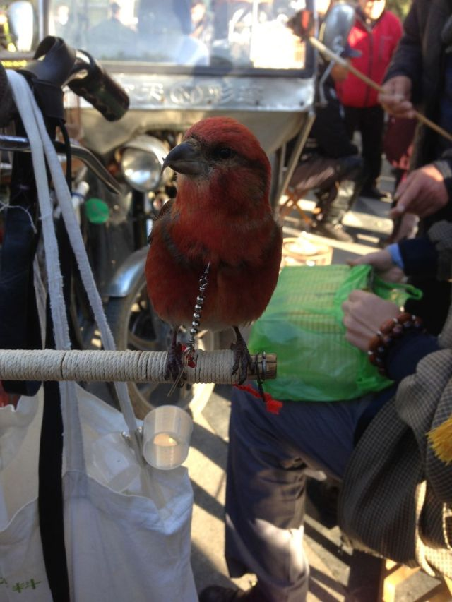 A Red Crossbill tied with a chain around its neck.  Can you think of anything more cruel?