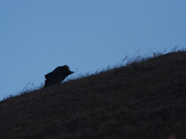 Our first view of the injured CINEREOUS VULTURE..