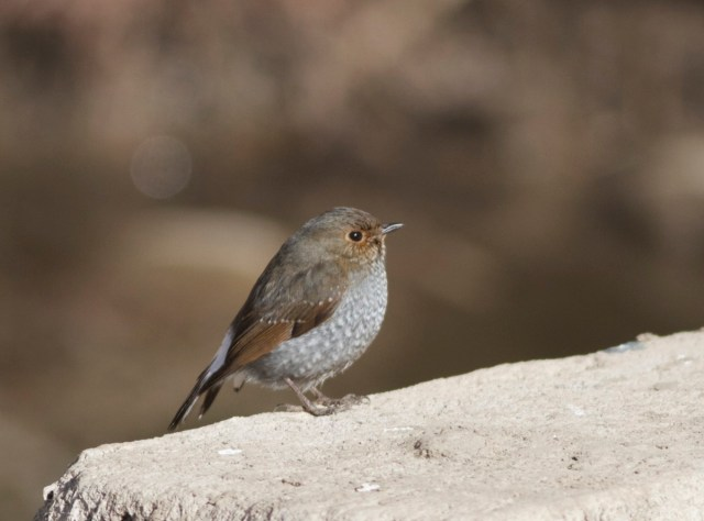 Female PLUMBEOUS REDSTART, Shidu
