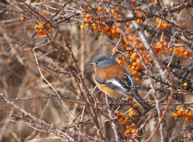 "PRZEVALSKI'S REDSTART, Lingshan, 15 February 2014.  As one Twitter follower described its plumage as a ""like a redstart pretending to be a Chaffinch""..  I can see what he means..."