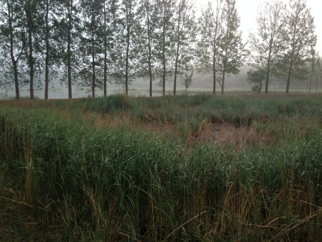 An abandoned fish pond near Yanqing, the site of the STREAKED REED WARBLER sighting on Sunday 15 June 2014.