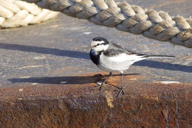 2011-01-25 White Wagtail ssp lugens male2, Choshi, Japan