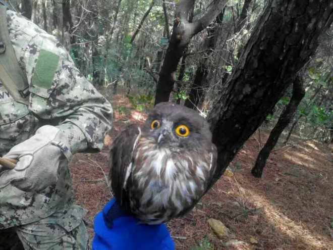2015-10-01 releasing brown hawk owl, laotieshan2