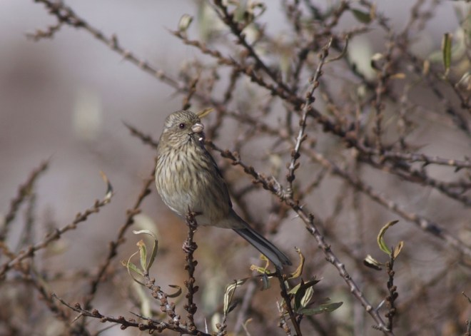 2015-11-09 Long-tailed Rosefinch fem, Lingshan