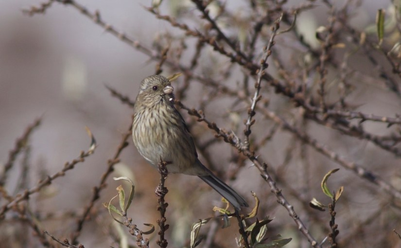 Long-tailed Rosefinches in Beijing