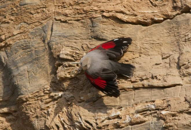 2013-11-23 Wallcreeper, Shidu