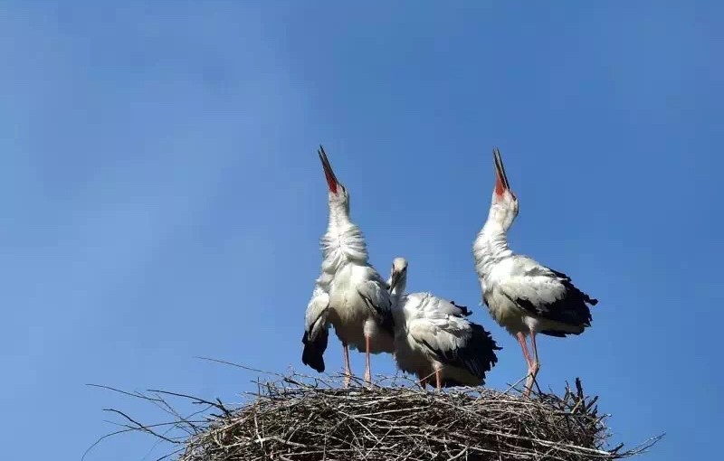 Tianjin State Grid Company Saves Oriental Stork Nest