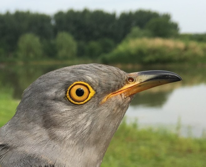 Tagged Cuckoo 2, Hanshiqiao, 25 May 2016 close up
