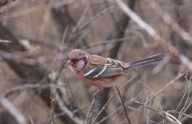 2016-12-12-long-tailed-rosefinch-ssp-lepidus-male-lingshan3