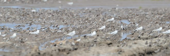 shorebird-flock