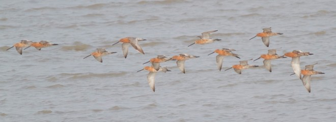 2016-04-29 Asian Dowitchers, Nanpu