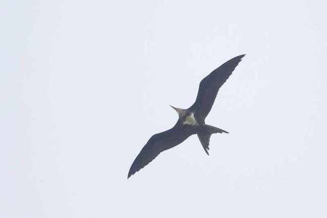 2018-05-01 Lesser Frigatebird2, Yeyahu (Pan Wenxin)