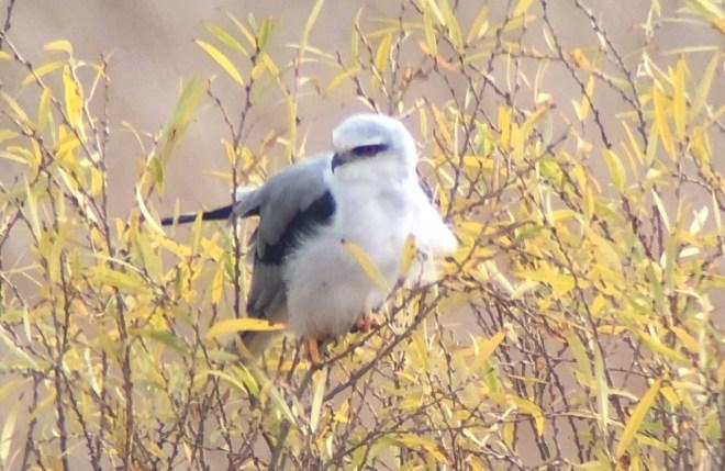 2018-11-05 Black-winged Kite, Yeyahu