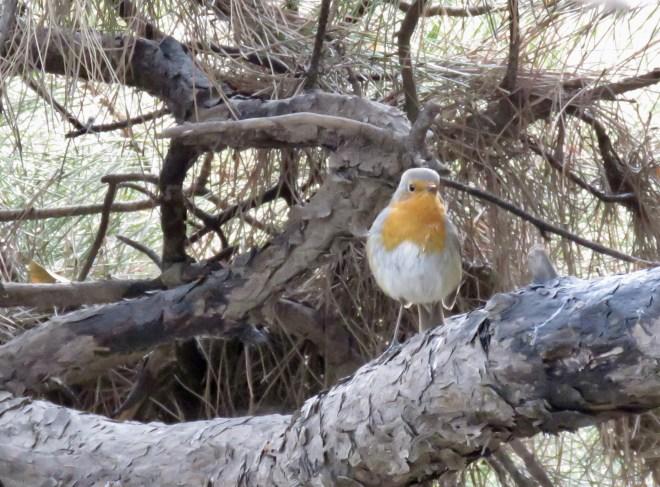 2019-01-11 European Robin, Beijing Zoo 2