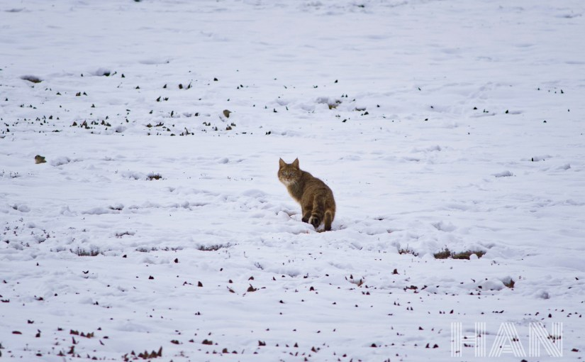 Chinese Mountain Cat (Felis bieti) – observations and findings from the first active den ever discovered