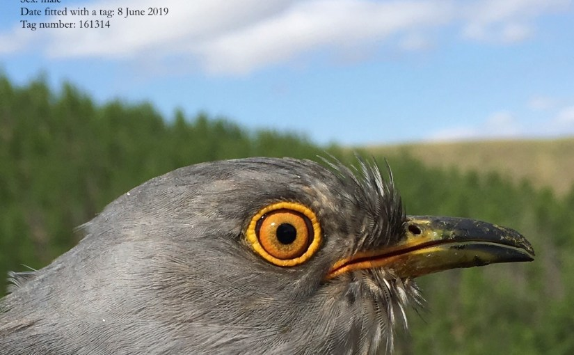 In celebration of Onon, a remarkable cuckoo