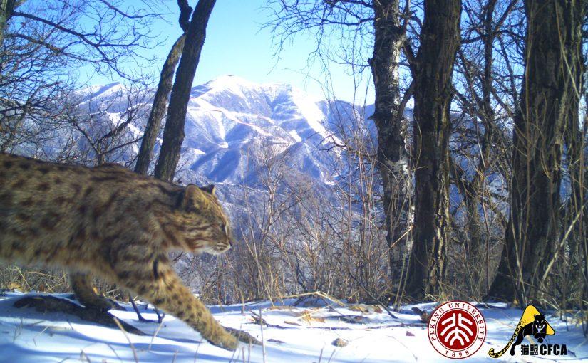 Leopard Cat in Beijing 北京豹猫