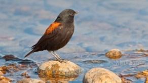 36 BIRDERS Martin Iriarte-Sobrepuesto (M)